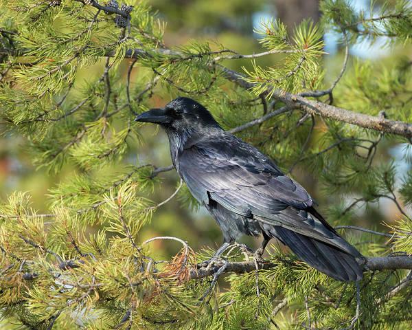 Corvidae Photograph - Common Raven, Corvus Corax by Maresa Pryor