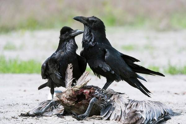 California Brown Pelican Photograph - Common Ravens Feeding On A Dead Pelican by Christopher Swann/science Photo Library