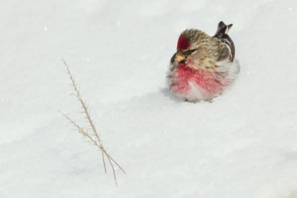 Ken Photograph - Common Redpole by Ken Archer
