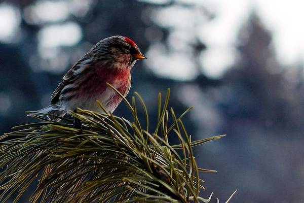 Photograph - Common Redpole by Trever Miller