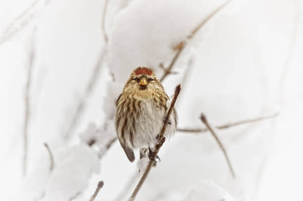 Feeder Photograph - Common Redpoll by Susan Capuano