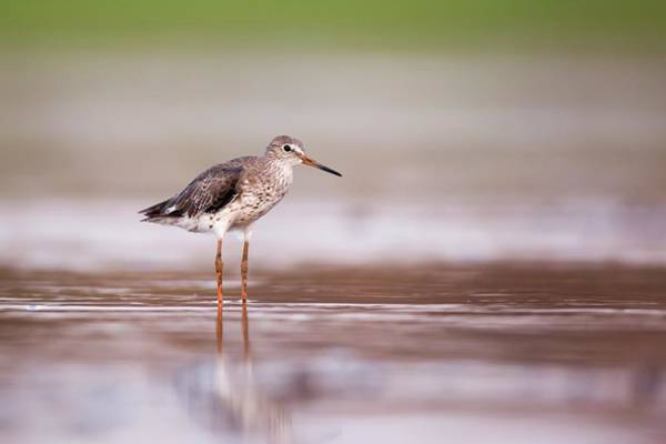 Scolopacidae Photograph - Common Redshank (tringa Totanus) by Photostock-israel/science Photo Library