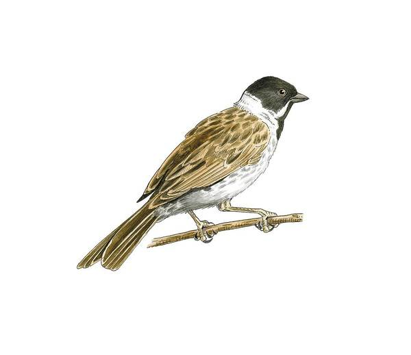 Wall Art - Photograph - Common Reed Bunting, Artwork by Science Photo Library