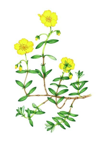 Wall Art - Photograph - Common Rock-rose (helianthemum Nummularium) by Lizzie Harper/science Photo Library