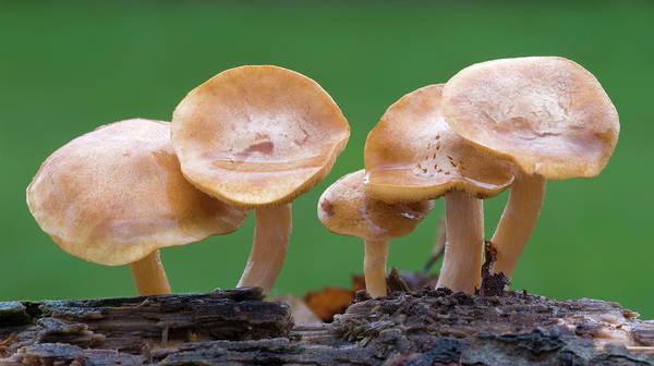Rust Fungus Photograph - Common Rustgill (gymnopilus Penetrans) by Nigel Downer