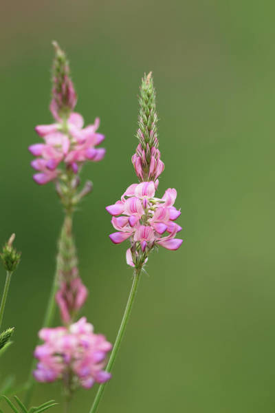 Sainfoin Wall Art - Photograph - Common Sainfoin, Onobrychis Viciifolia by Joe Petersburger