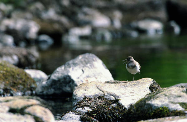 Sandpiper Photograph - Common Sandpiper by Leslie J Borg/science Photo Library