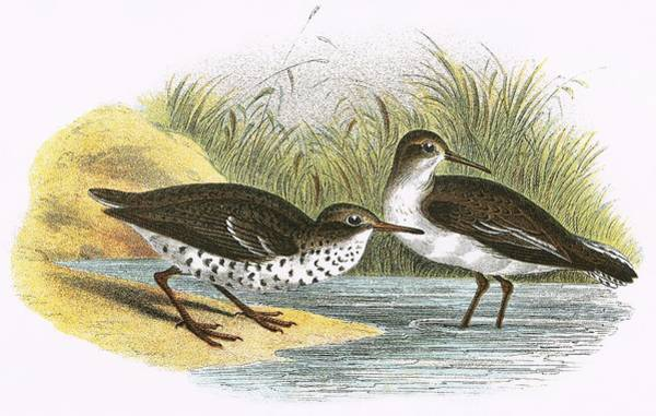Ornithology Photograph - Common Sandpiper Right And Spotted Sandpiper Left by English School