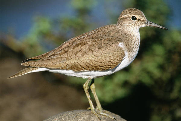 Sandpiper Photograph - Common Sandpiper by Tony Camacho/science Photo Library
