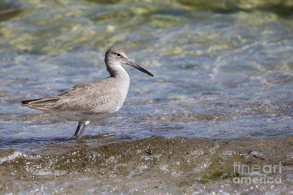 Sandpiper Photograph - Common Sandpiper by Twenty Two North Photography