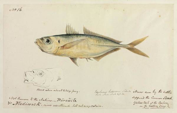 Trevally Photograph - Common Scad Fish by Natural History Museum, London/science Photo Library