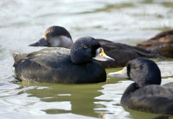 Wall Art - Photograph - Common Scoter by John Devries/science Photo Library