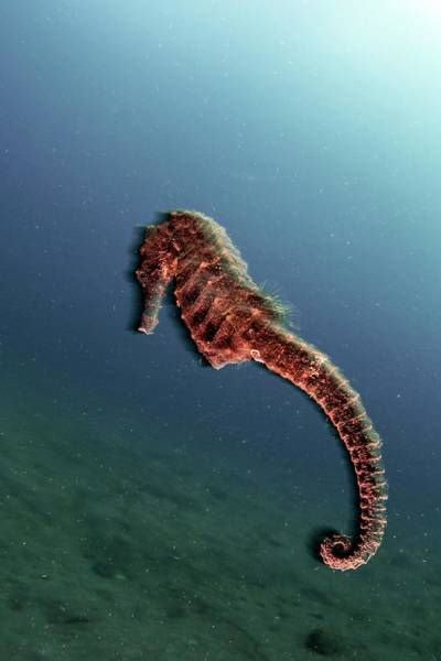 Seahorse Photograph - Common Seahorse by Ethan Daniels