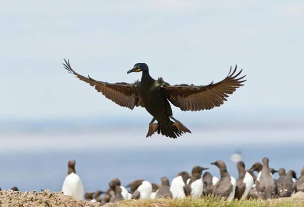 Feeder Photograph - Common Shag Colony by John Devries/science Photo Library