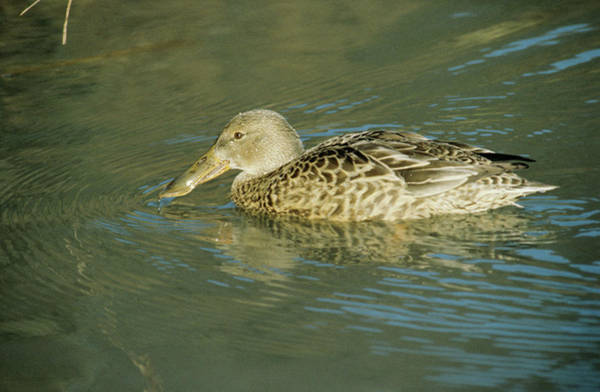 Wall Art - Photograph - Common Shoveler Duck by Anthony Cooper/science Photo Library