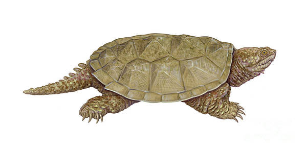 Snapping Wall Art - Photograph - Common Snapping Turtle by Carlyn Iverson