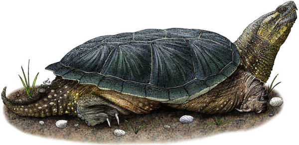 Snapping Wall Art - Photograph - Common Snapping Turtle by Roger Hall