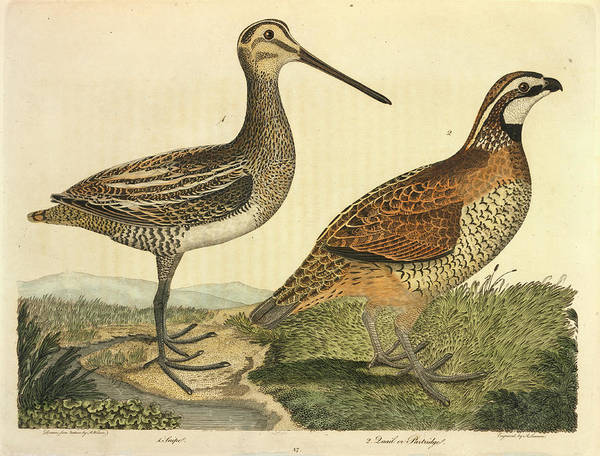 Scolopacidae Photograph - Common Snipe by Natural History Museum, London