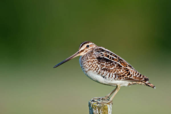 Photograph - Common Snipe by Torbjorn Swenelius