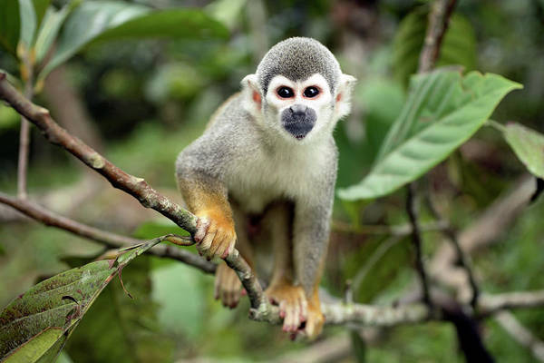 Squirrel Monkey Wall Art - Photograph - Common Squirrel Monkey by Dr Morley Read/science Photo Library
