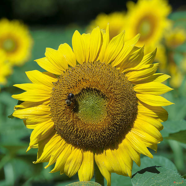 Photograph - Common Sunflower And Bumblebee Dsmf208 by Gerry Gantt