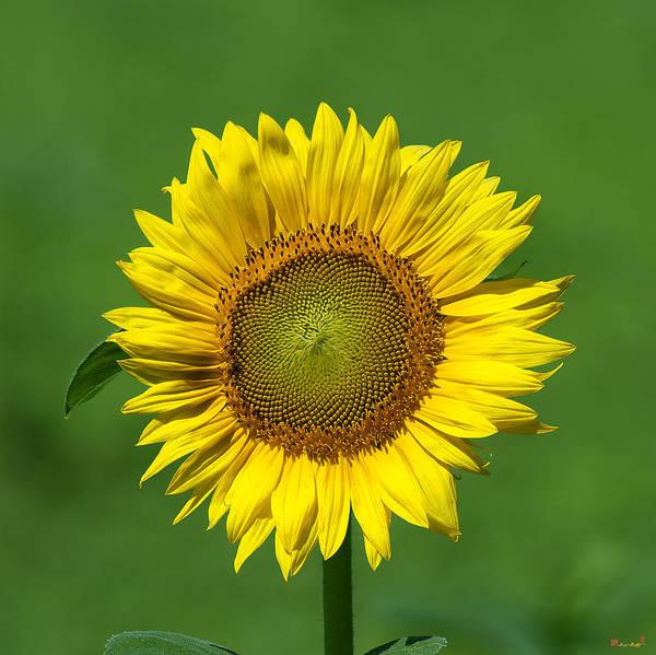 Photograph - Common Sunflower Dsmf209 by Gerry Gantt