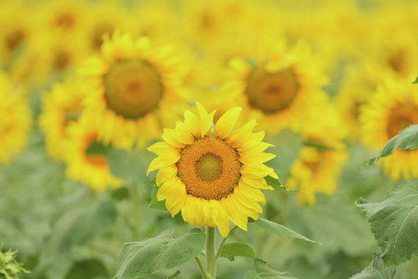 Wall Art - Photograph - Common Sunflower, Helianthus Annuus by Rolf Nussbaumer