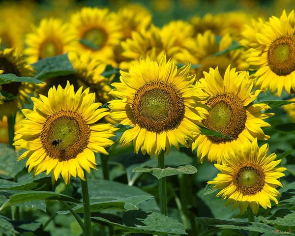 Photograph - Common Sunflowers Dsmf205 by Gerry Gantt