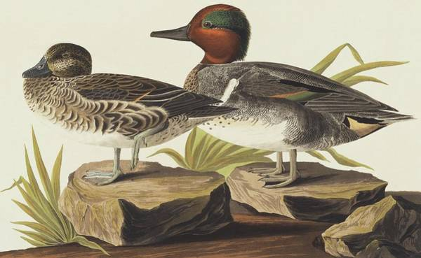 Wall Art - Photograph - Common Teal by Natural History Museum, London/science Photo Library