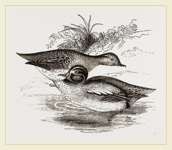 Teal Drawing - Common Teals by Litz Collection