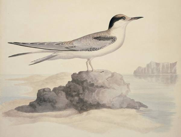 Wall Art - Photograph - Common Tern, 19th Century Artwork by Science Photo Library