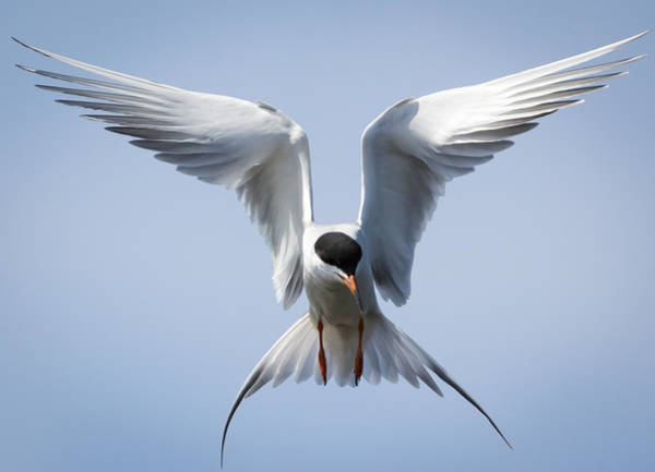 Common Tern Art Print