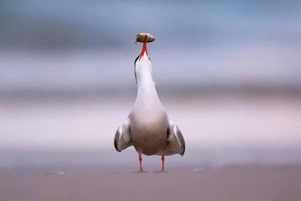 Screech Photograph - Common Tern (sterna Hirundo) by Photostock-israel/science Photo Library