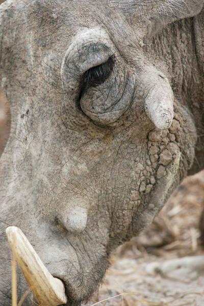 Tusk Photograph - Common Warthog's Head by Simon Booth