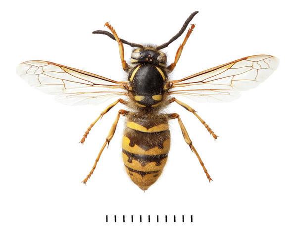 Invertebrata Wall Art - Photograph - Common Wasp by Natural History Museum, London