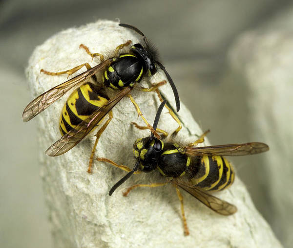 Norfolk Photograph - Common Wasps by Nigel Downer