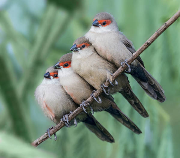 Wall Art - Photograph - Common Waxbill by Cheng Chang