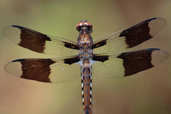 Photograph - Common Whitetail Dragonfly Perched On A Stem by Daniel Reed