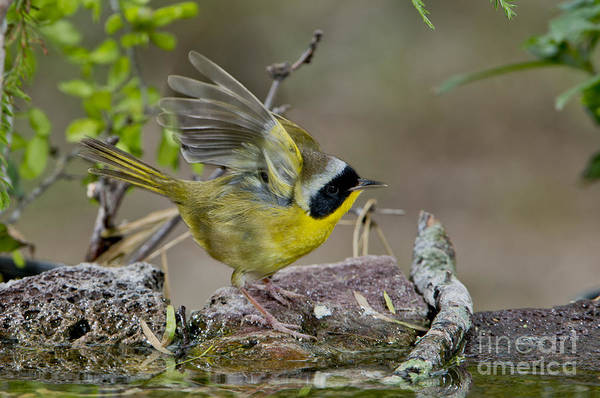 Parulidae Photograph - Common Yellowthroat by Anthony Mercieca