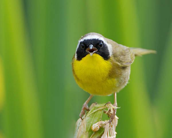 Photograph - Common Yellowthroat Male by Steve Kaye