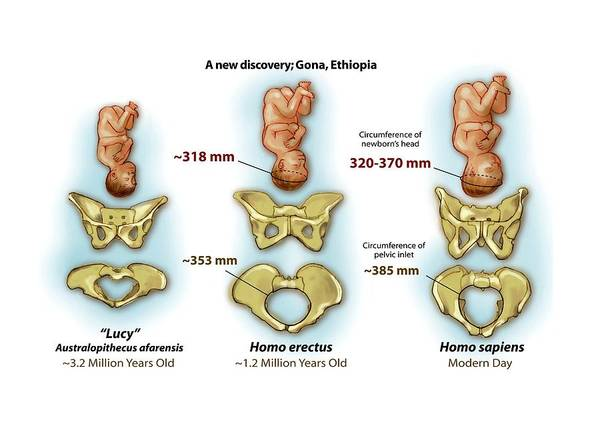 Comparative Wall Art - Photograph - Comparison Of Hominin Pelvic Bones by National Science Foundation/science Photo Library