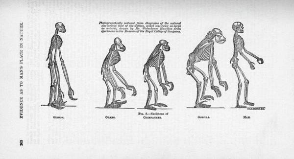 1863 Photograph - Comparison Of Primate Skeletons by Natural History Museum, London/science Photo Library