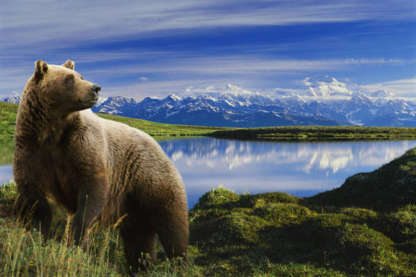 Bear Wall Art - Photograph - Composite Grizzly Stands In Front Of by Michael Jones