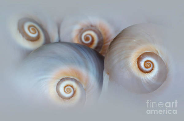 Photograph - Composition Of Four Shells by Jaroslaw Blaminsky