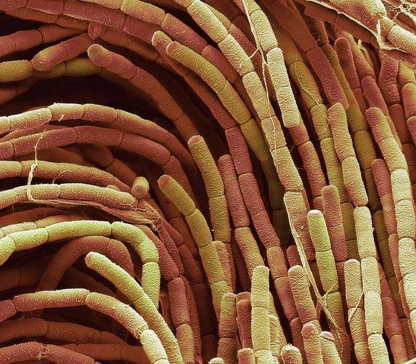 Saprophytic Wall Art - Photograph - Compost Bacteria by Steve Gschmeissner/science Photo Library