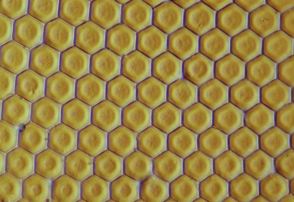 Wall Art - Photograph - Compound Eye From A Bluebottle Fly by Power And Syred/science Photo Library