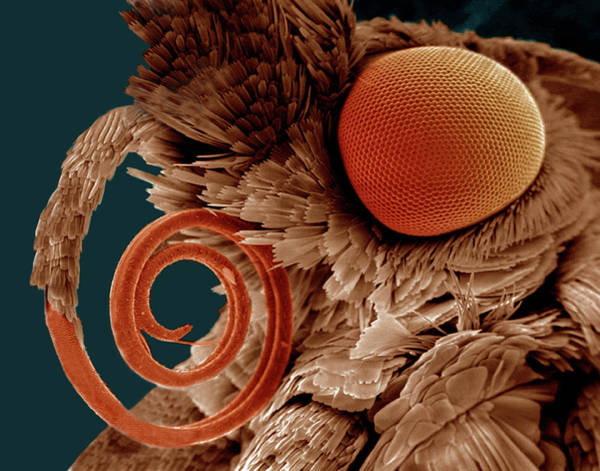 Compound Eyes Photograph - Compound Eye by Science Stock Photography/science Photo Library