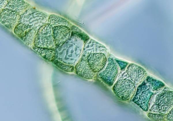 Filamentous Algae Photograph - Compsopogon Alga Filament by Gerd Guenther