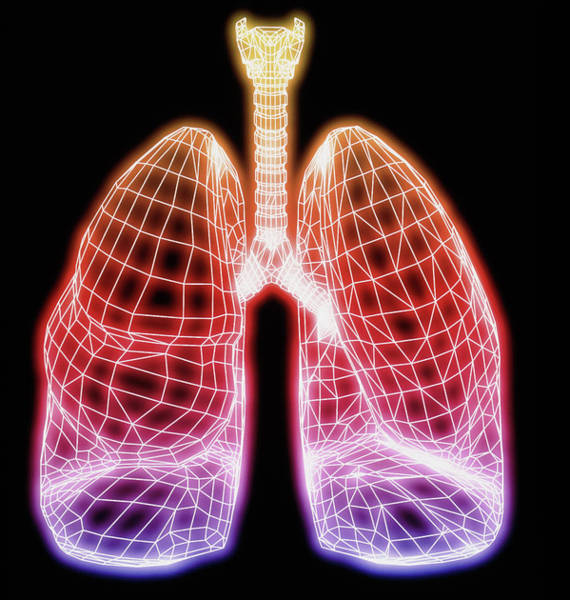 Bronchus Photograph - Computer Artwork Of Healthy Human Lung Outline by Pasieka