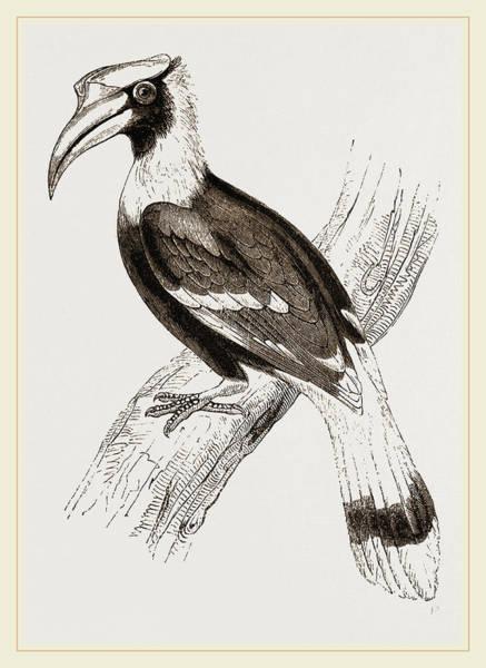 Hornbill Drawing - Concav Hornbill by Litz Collection